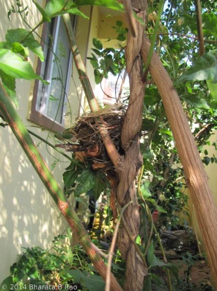 Bulbul's nest
